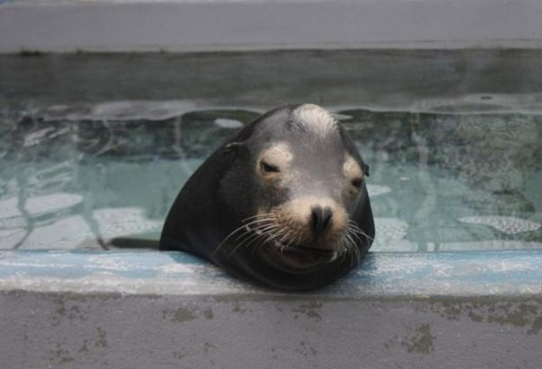 Водоросли повреждают мозг морских львов