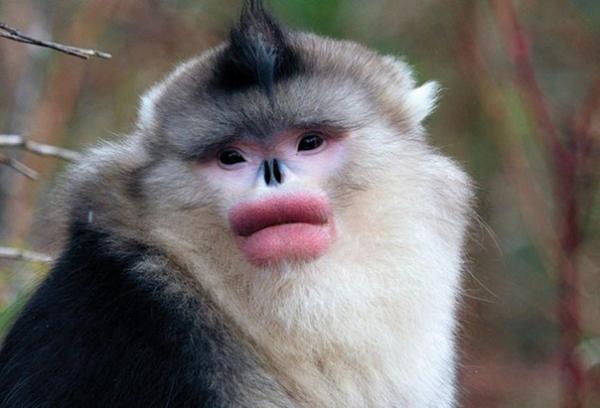 Ринопитеки «красят» губы, отправляясь на свидание