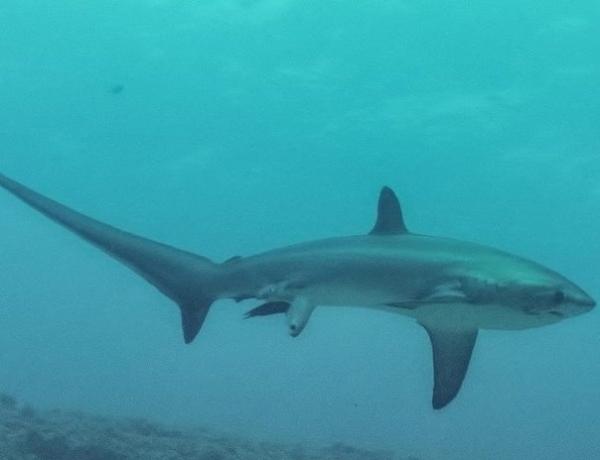 Ученым удалось заснять, как акула рожает детеныша в океане