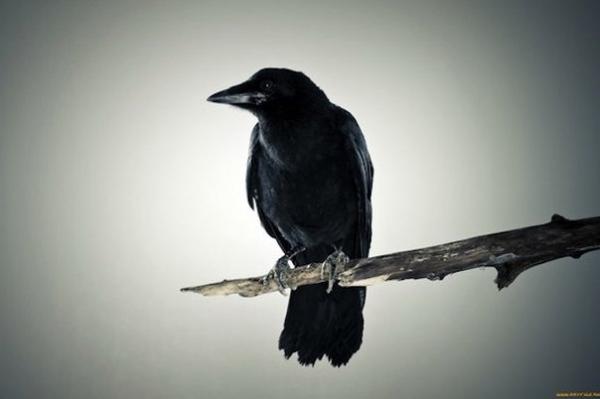 Вороны боятся смерти и изучают ее причины