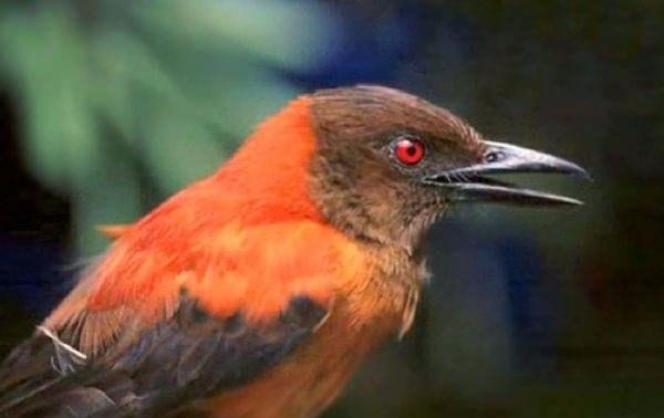 Ядовитая птица