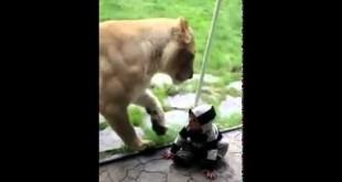 Львица хочет съесть ребенка
