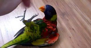 смешной попугай который любит веселиться со своим хозяином