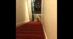 Собака бегает на передних ногах