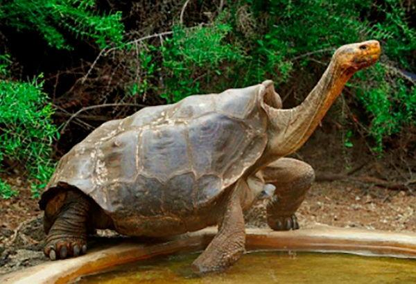 Самец галапагосской черепахи в одиночку спас свой вид от вымирания