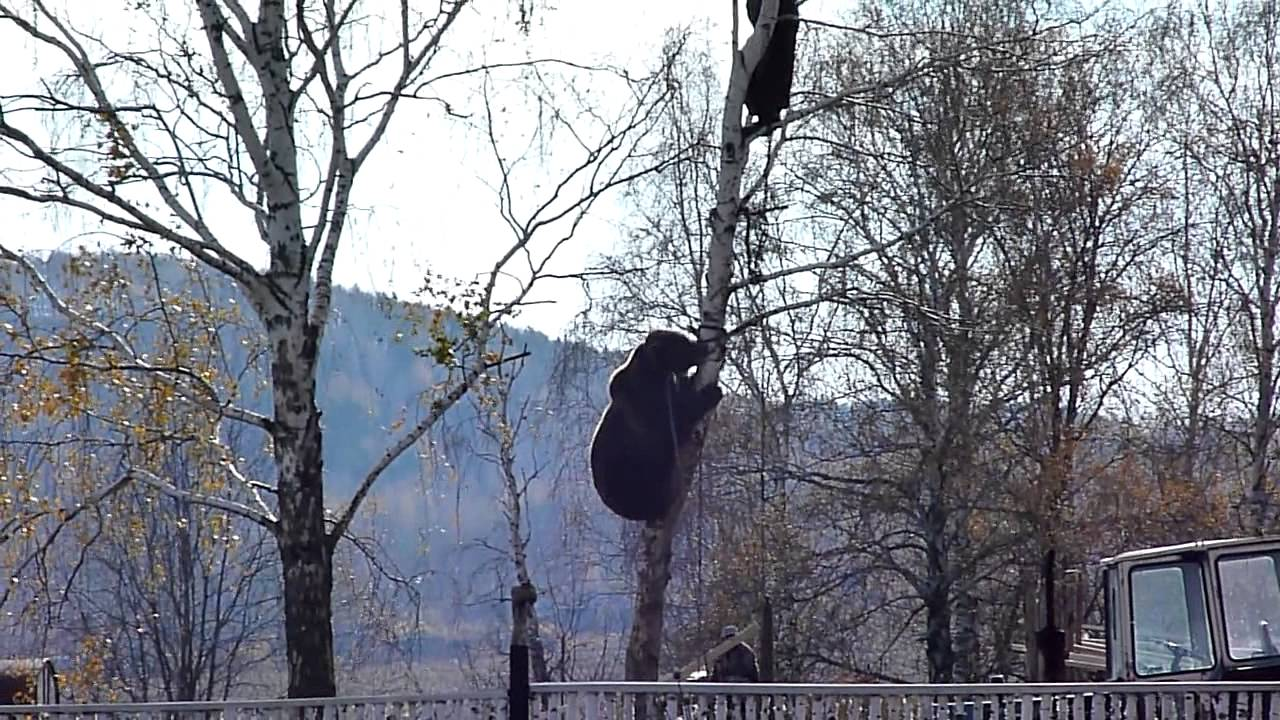 медведь который залез на дерево за мужчиной