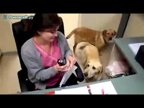 Собака офисный помощник