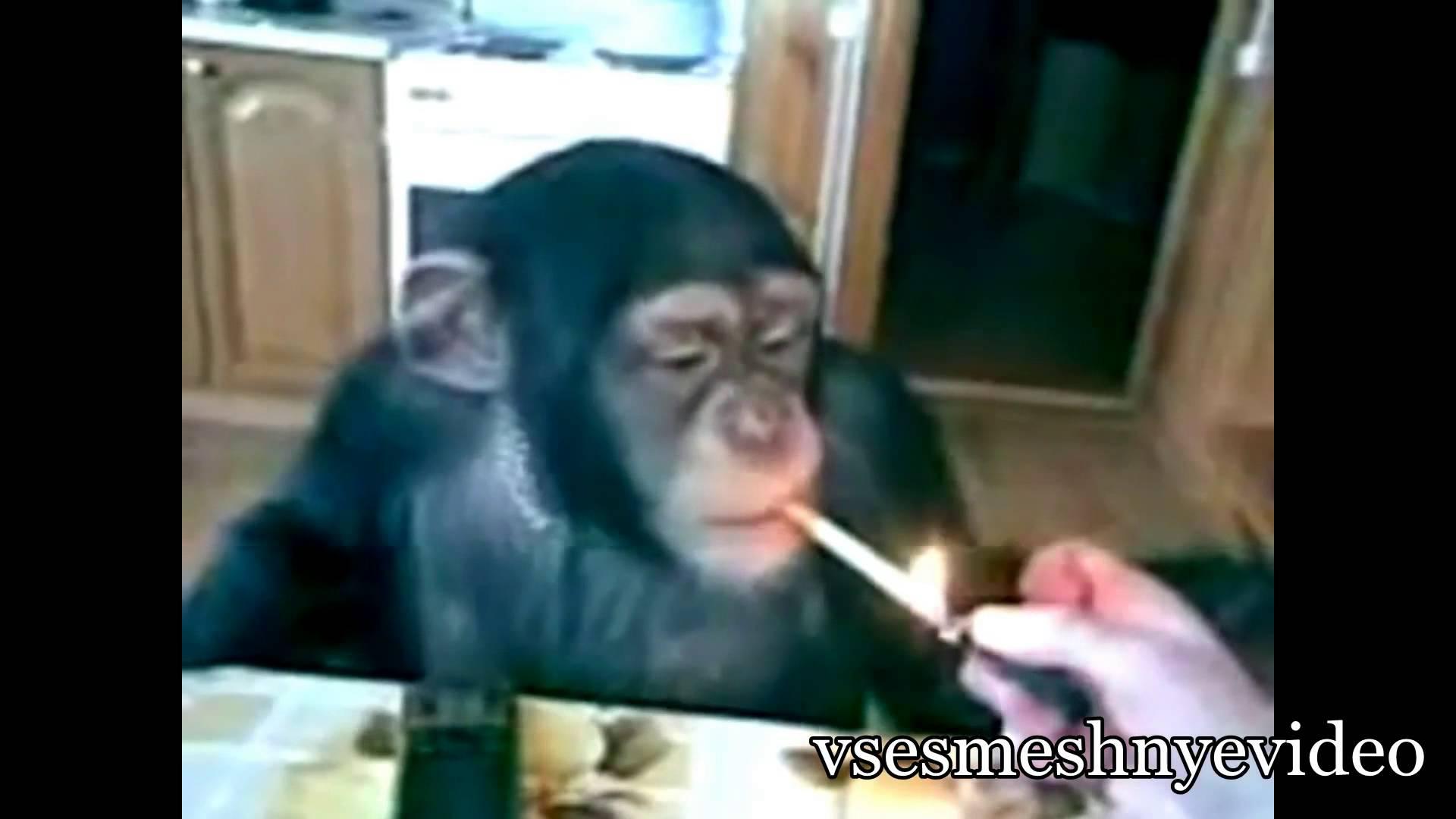 Шимпанзе курит и не только