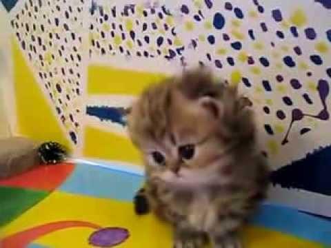 очень смешной маленький котенок