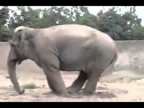 Слоны тоже умеют вытворять немыслимое и не только они