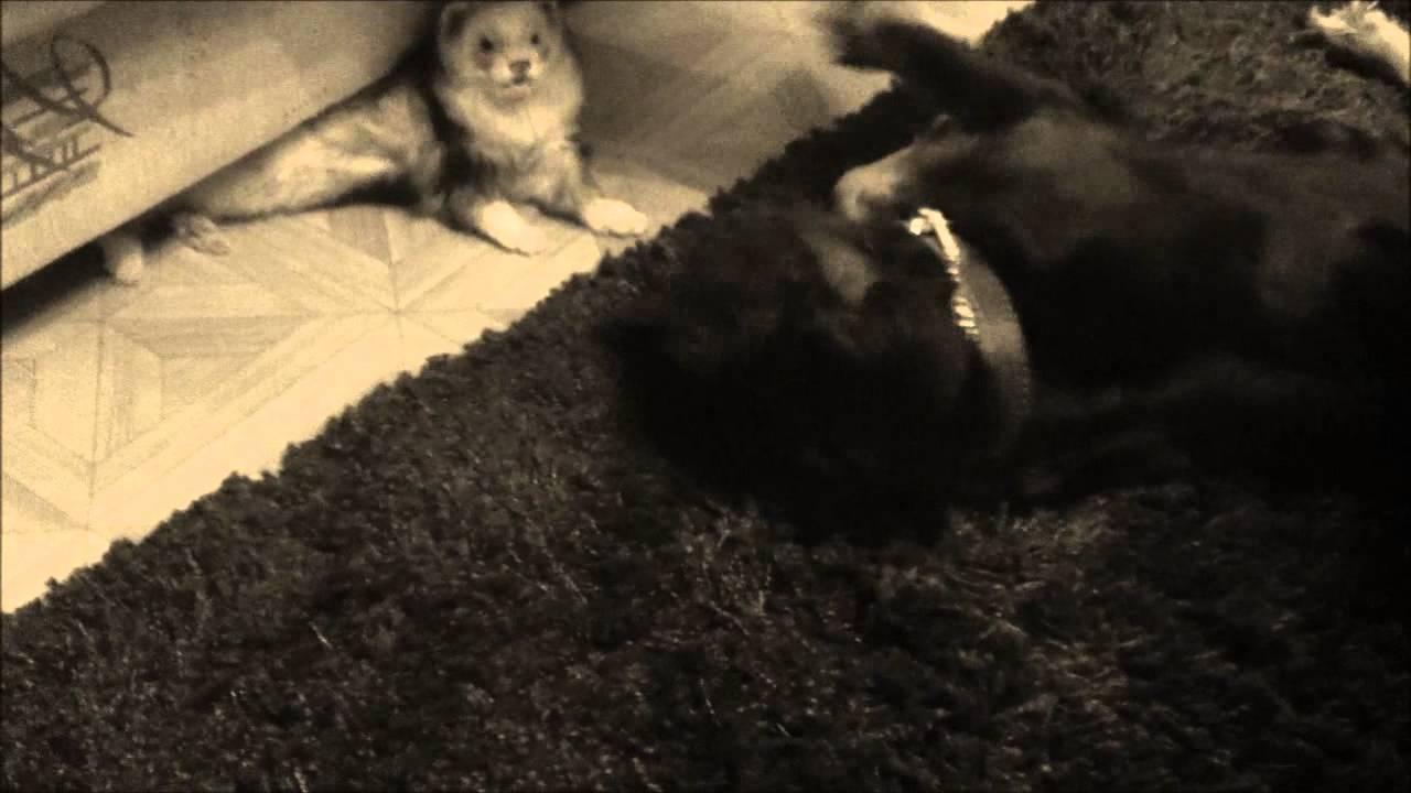 необыкновенная дружба хорька и собаки