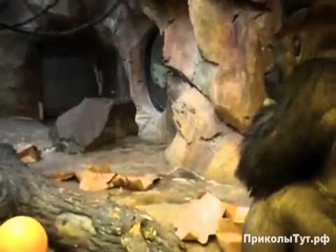 обезьяны которые не полюбили картон
