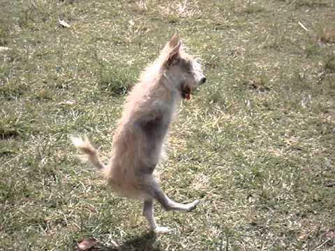 Собака бегает на двух ножках