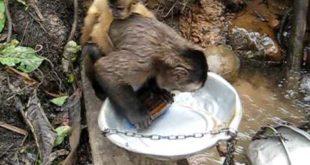Довольная обезьянка моет посуду