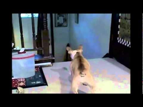 Французский бульдог спасается бегством от разгневанного кота