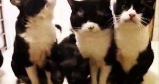 Кошки танцуют головами