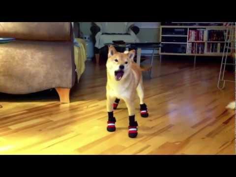 Новые сапожки для собаки