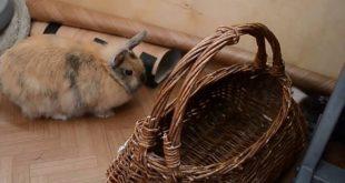 битва кролика и хорька