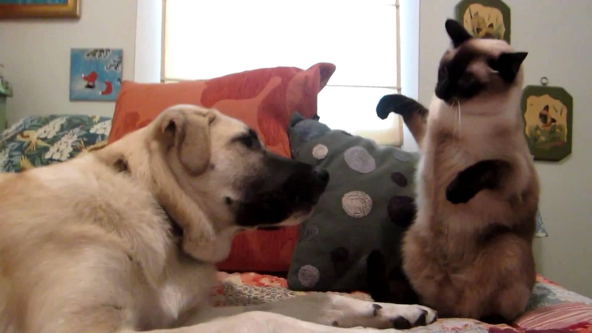 кошка любит драться с собакой