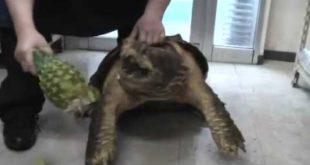 Гигантская черепаха сжирает ананас