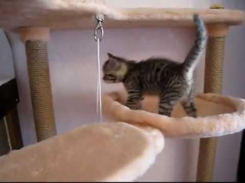маленькие шотлондские котятки