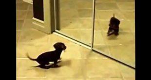 Маленький щенок играет со своим отражением