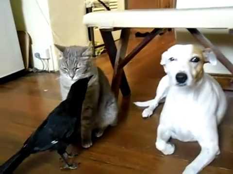 Пес кошка и ворона отлично ладят