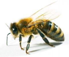 Фумисан и Варроадез для пчел: обзор препаратов