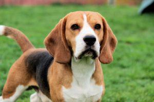 Порода-собак-бигль-фото