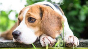 1480697174_beagle-dog