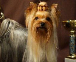 Шоу класс, брид и премиум у собак. Что это значит